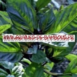 Basilic cannelle 3000 graines