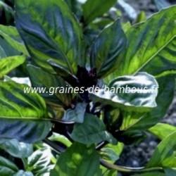 Basilic cannelle ocimum basilicum graines de bambous fr