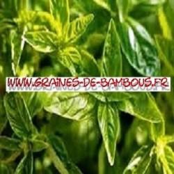 Basilic citron ocimum basilicum 3000 graines