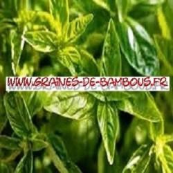 Basilic citron 4000 graines