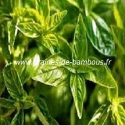 Basilic citron www graines de bambous fr