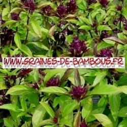 Basilic thai 3000 graines www graines de bambous fr