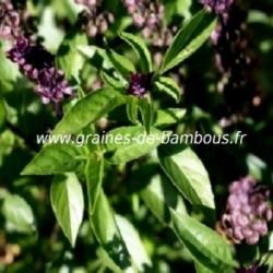 Basilic thai ocimum basilicum graines de bambous fr