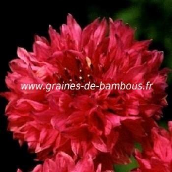 Bleuet double rouge Centaurée red ball réf.717