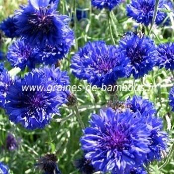 Bleuet double bleu centaurea blue