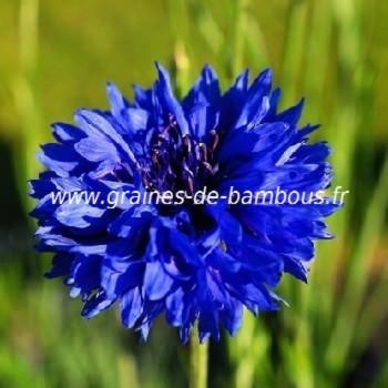 Bleuet double bleu centauree blue ball