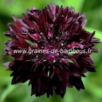 Bleuet double noir Centaurée black ball réf.716