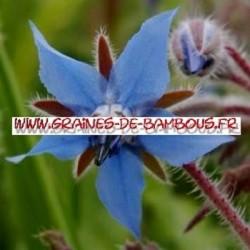 Bourrache bleue graines de bambous fr