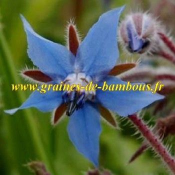 Bourrache bleue officinale borago officinalis graines de bambous fr
