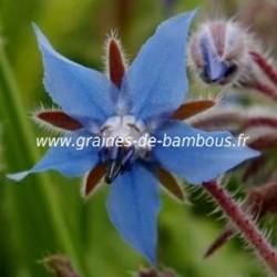 Bourrache bleue www graines de bambous fr