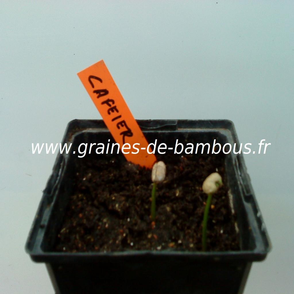 cafeier-nain-semis-www-graines-de-bambous-fr.jpg