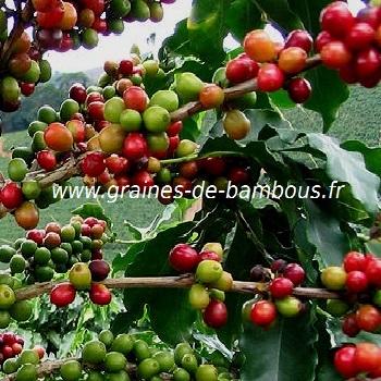 cafeier-nain-www-graines-de-bambous-fr.jpg