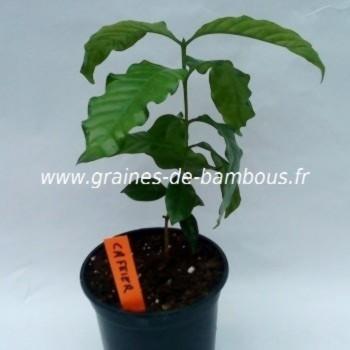Cafeier petit plant