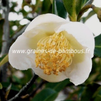 Camellia sinensis theier arbre a the