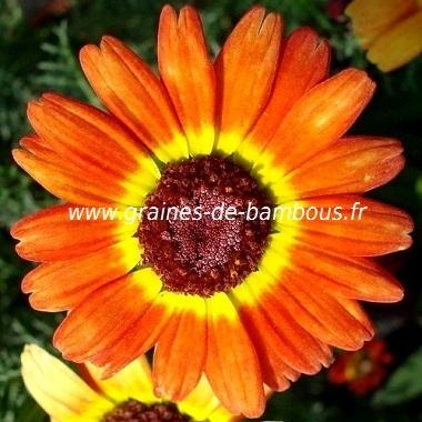 Carinatum fleur