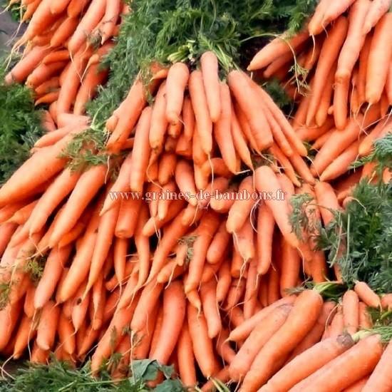 Carotte amsterdam potagere legume graines
