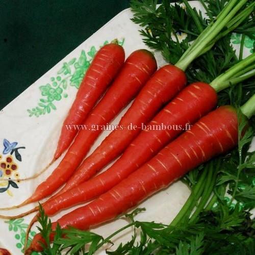 Carotte atomic red graines de bambous fr