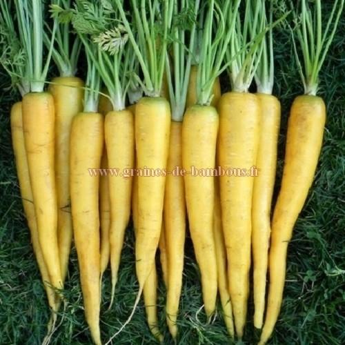 Graines de carotte jaune du doubs - Arbre a carotte ...