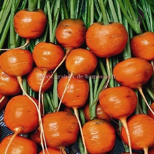 Carotte variete ronde graines de bambous fr