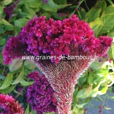 Celosia crete de coq