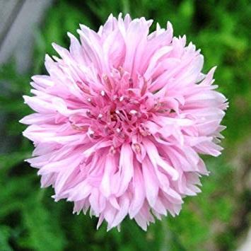Bleuet Rose centaurée Pink Ball réf.851