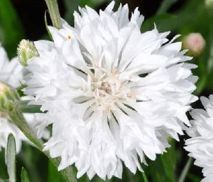 Bleuet blanc centaurée White Ball réf.850
