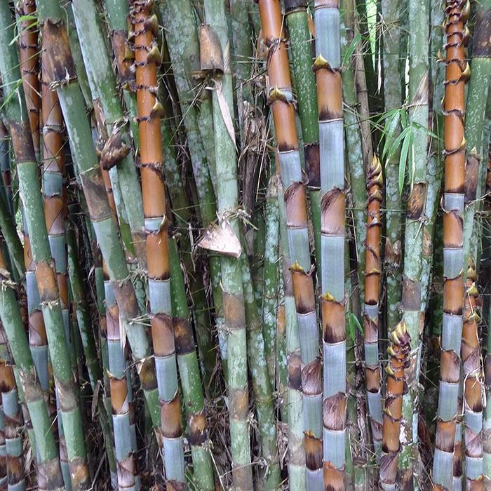 Cephalostachyum pergracile graines de bambous fr