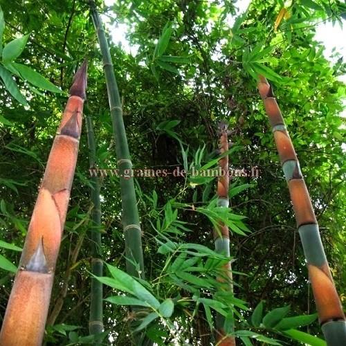 Cephalostachyum pergracile www graines de bambous fr