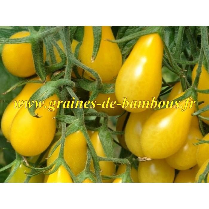 Cerise poire jaune graines de tomate