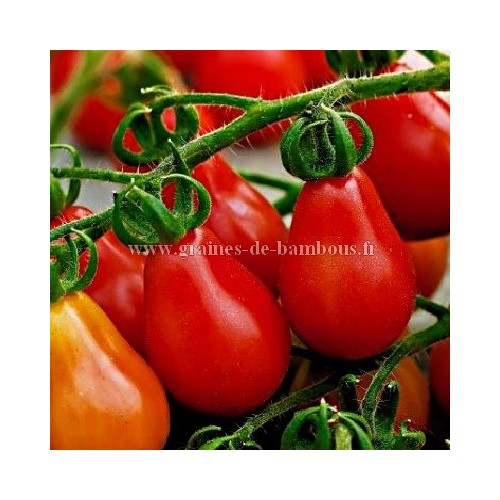 Cerise poire tomate rouge