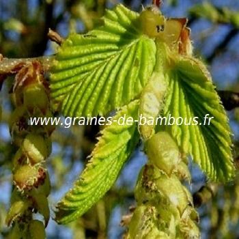 charme-www-graines-de-bambous-fr-2.jpg