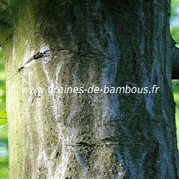 charmille-ou-charme-www-graines-de-bambous-fr.jpg