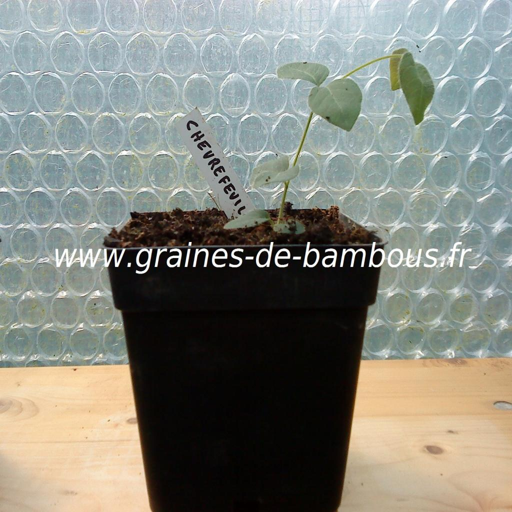 chevrefeuille-odorant-lonicera-fragantissima-petit-plant-www-graines-de-bambous-fr.jpg