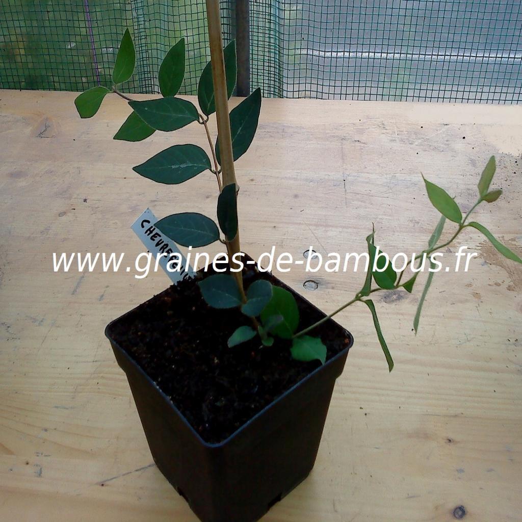 chevrefeuille-odorant-lonicera-fragantissima-plant-www-graines-de-bambous-fr.jpg