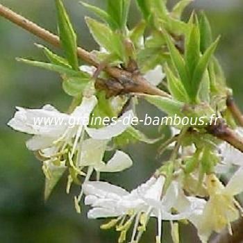 chevrefeuille-odorant-lonicera-fragantissima-www-graines-de-bambous-fr.jpg