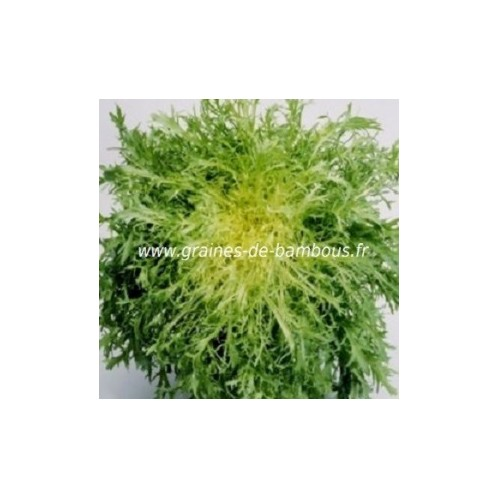 Chicoree scarole frisee de meaux graines de bambous fr