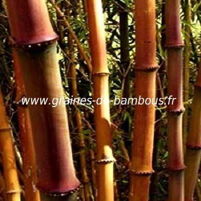 chimonocalamu-delicatus-chaumes-www-graines-de-bambous-fr.jpg