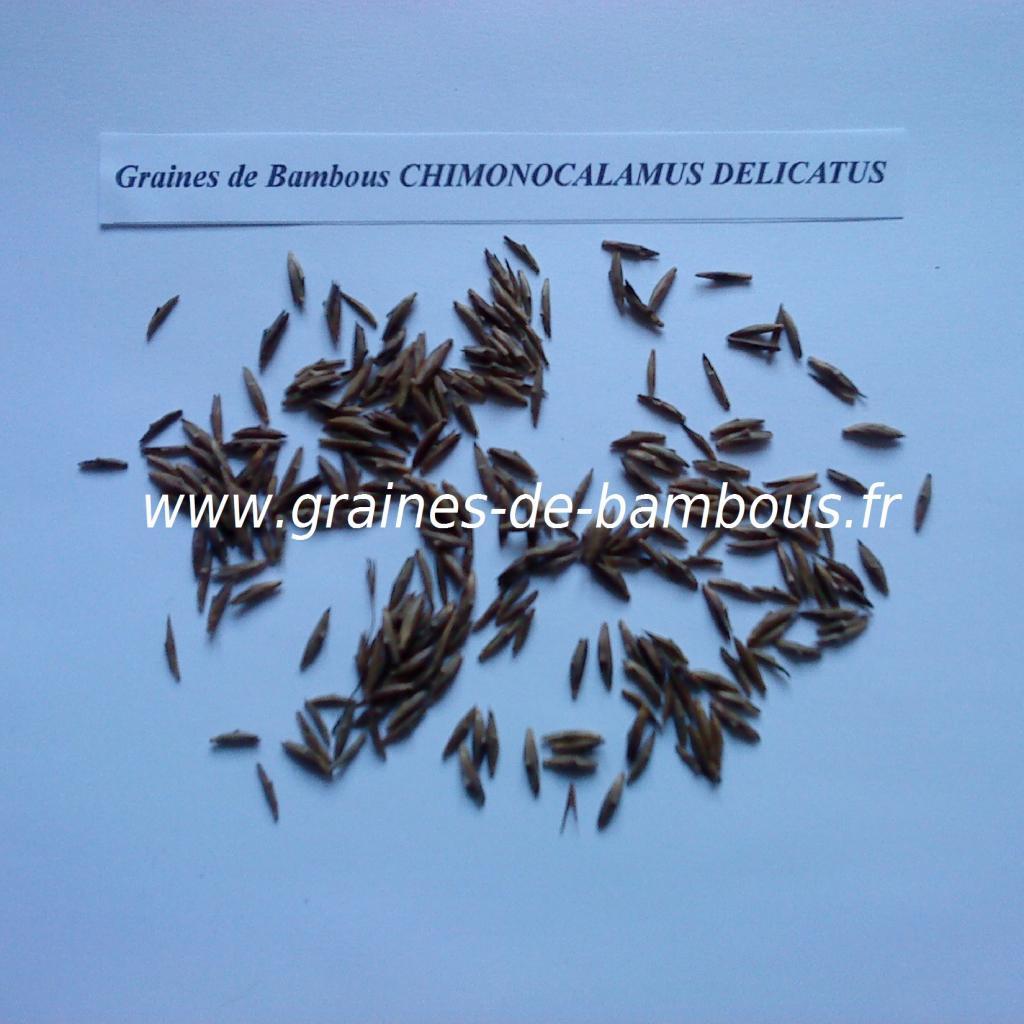 chimonocalamus-delicatus-graines-www-graines-de-bambous-fr.jpg