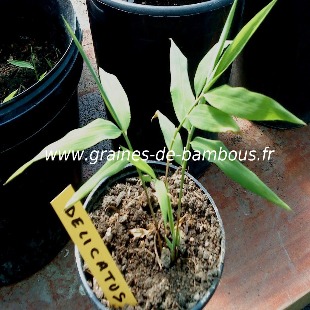 chimonocalamus-delicatus-petit-plant-www-graines-de-bambous-fr.jpg