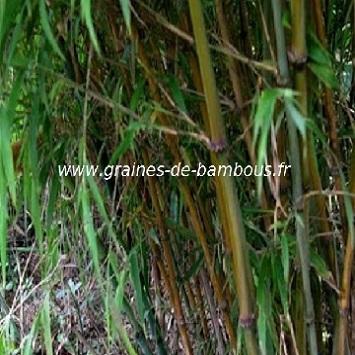 Chimonocalamus Makuanensis 20 graines réf.322