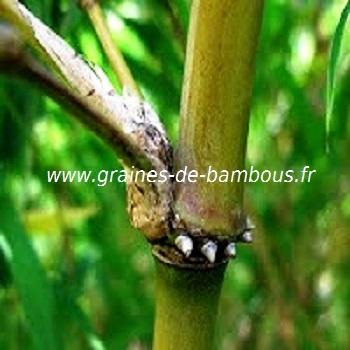 chimonocalamus-makuanensis-details-des-noeuds-www-graines-de-bambous-fr.jpg