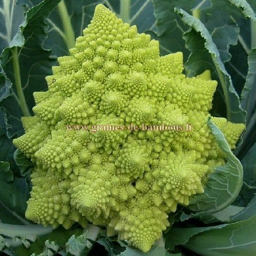 Chou fleur romanesco semences