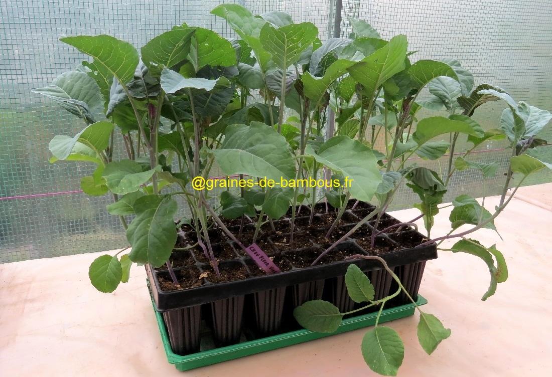 Chou fleur violet plant