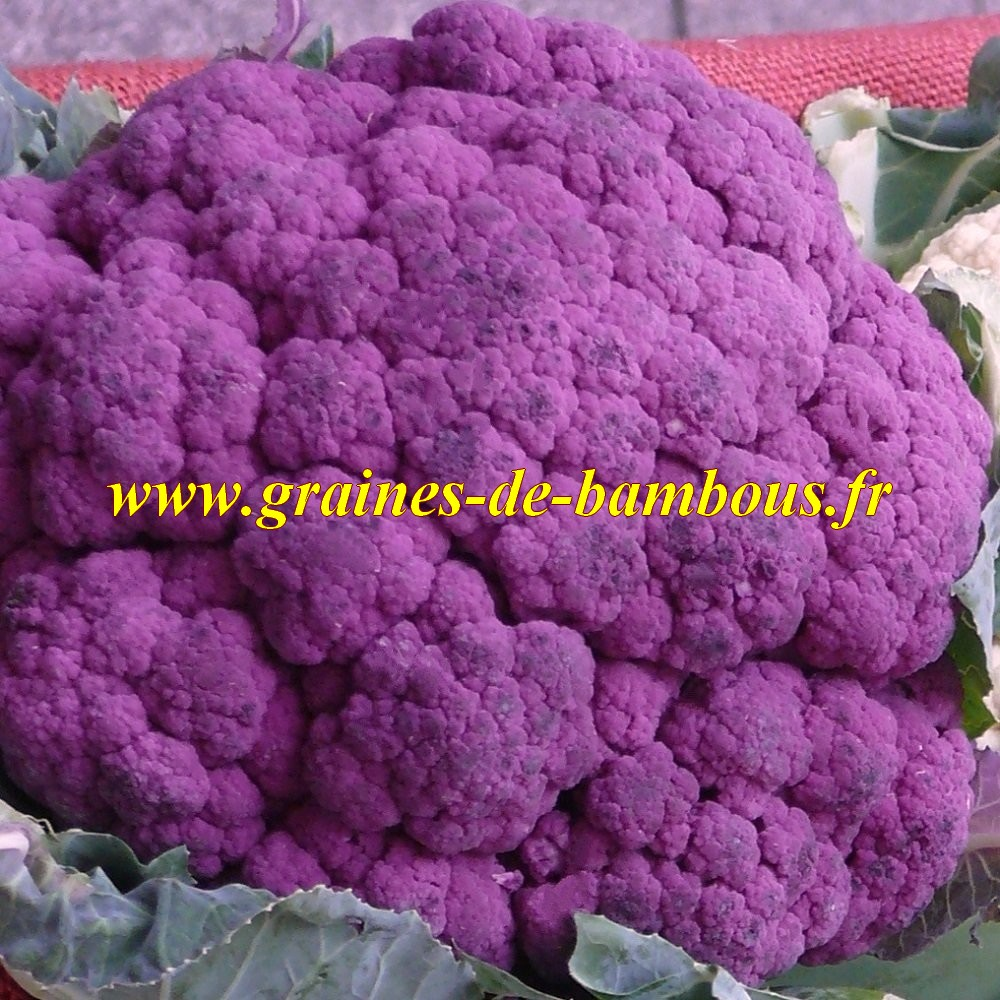 Chou fleur violet