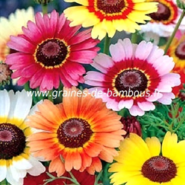 Chrysantheme 3 couleurs graines