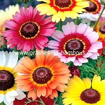 Chrysantheme 3 couleurs graines