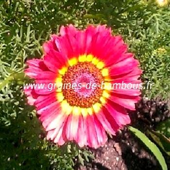 Chrysantheme carenee