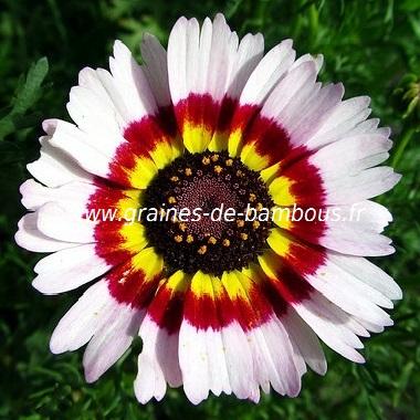 Chrysantheme carinatum