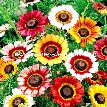 Chrysantheme tricolor graines