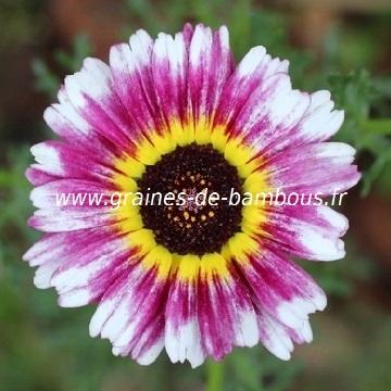 Chrysanthemum tricolore